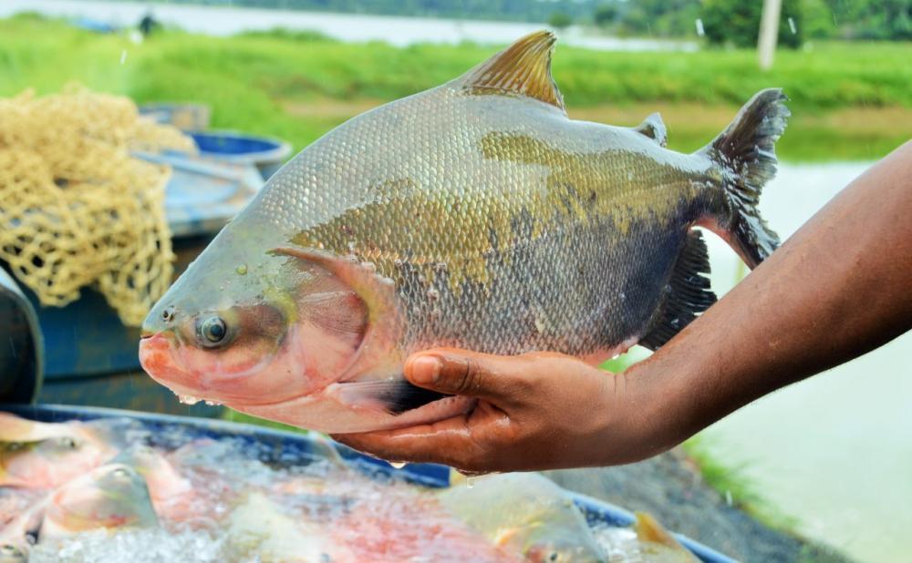 Banco do Povo tem fomentado a piscicultura na região da Zona da Mata. Fotos: Irene Mendes e Arquivo Secom
