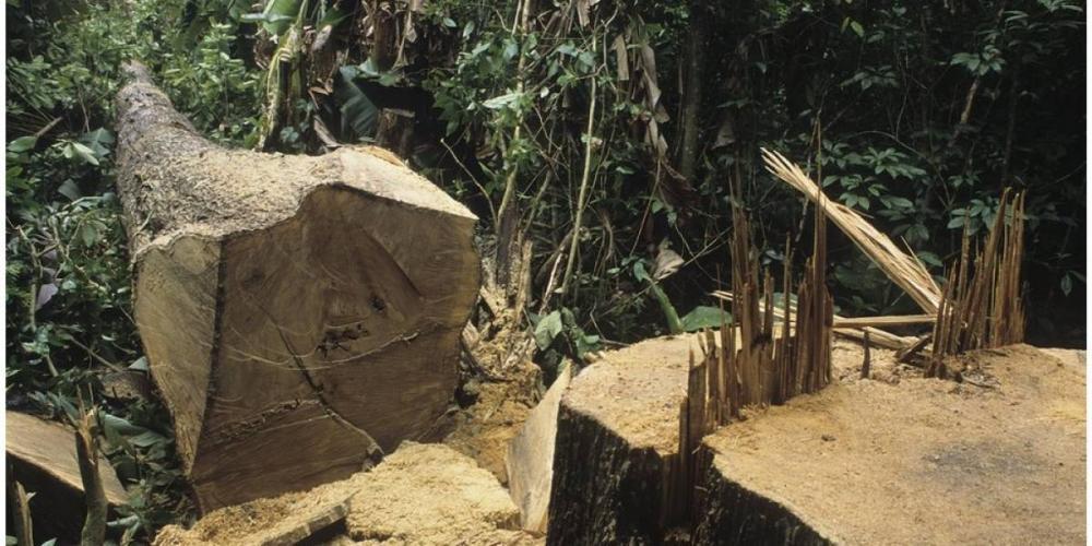 Árvore derrubada na Amazônia: Desmatamento ameaça o clima e também traz outros riscos, segundo especialistas - Getty Images