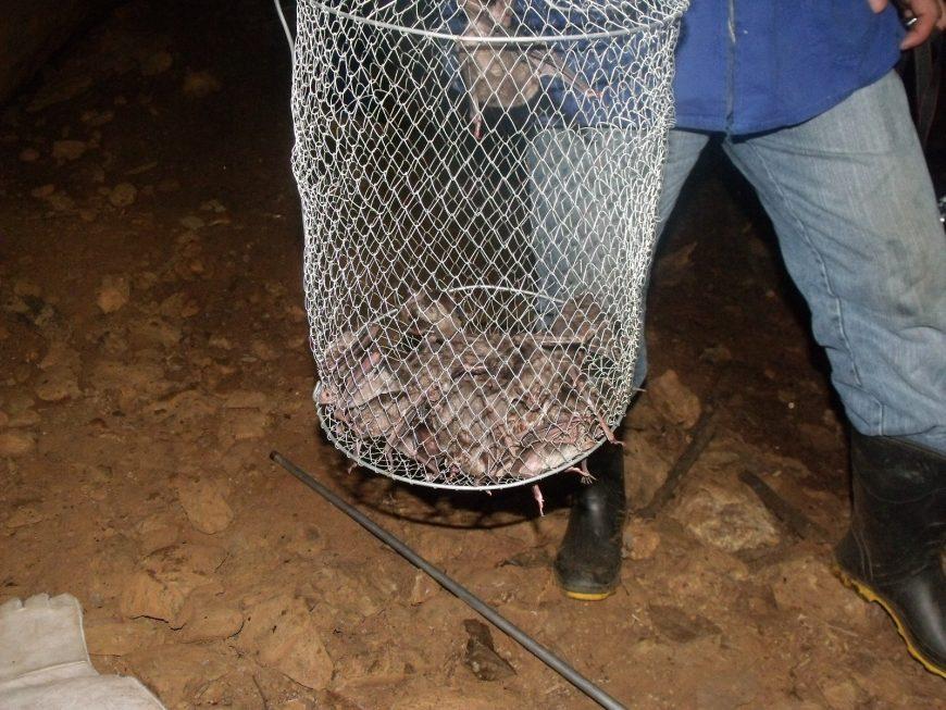 Técnicos da Idaron fazem a captura de morcegos hematófagos em área de foco de raiva, no interior de Rondônia. Fotos: Idaron Secom - Governo de Rondônia